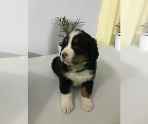 Bernese Mountain Dog Puppy for sale in SHIPSHEWANA, IN, USA
