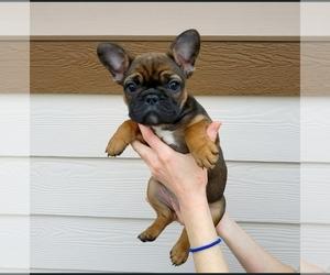 French Bulldog Puppy for sale in PASCO, WA, USA