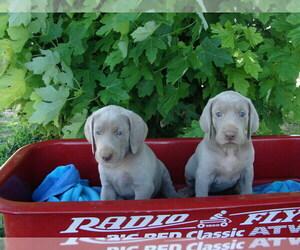 Weimaraner Dog for Adoption in AMORITA, Oklahoma USA