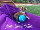Boxer Puppy For Sale in LEXINGTON, SC,