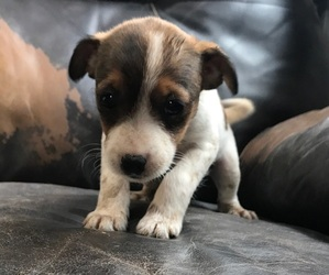 Jack Russell Terrier Dog for Adoption in FARMINGTON, Missouri USA