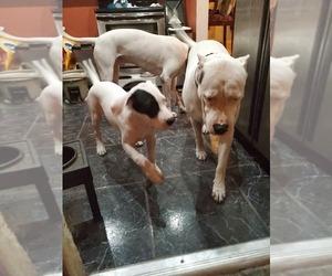 Dogo Argentino Puppy for sale in MIA SHORES, FL, USA