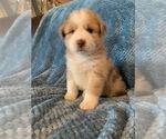 Puppy 4 Sheprador