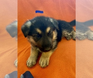 German Shepherd Dog Puppy for sale in SAINT LOUIS, MO, USA