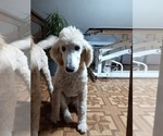 Small Photo #6 Poodle (Standard) Puppy For Sale in WAUSAUKEE, WI, USA