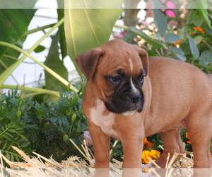 Boxer Puppy for Sale in WOMELSDORF, Pennsylvania USA