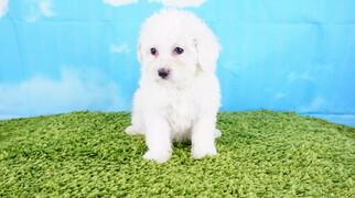 Maltipoo Puppy Female Lola