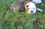 Bulldog Puppy For Sale in DURANT, OK,