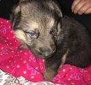 German Shepherd Dog Puppy For Sale in JEFFERSON, OR