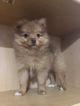 Pomeranian Puppy For Sale in LAFAYETTE, LA, USA