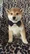 Shiba Inu Puppy For Sale in BUCK, PA, USA