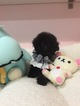 Poodle (Toy) Puppy For Sale in SAN GABRIEL, CA, USA