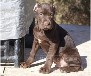 Cane Corso Puppy for sale in LITTLEROCK, CA, USA