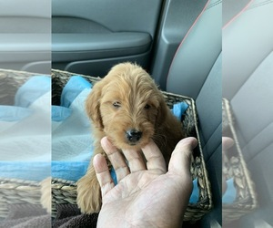 Golden Cocker Retriever-Poodle (Miniature) Mix Puppy for sale in CAMP SPRINGS, MD, USA
