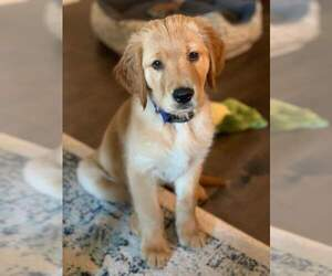 Golden Retriever Puppy for sale in HOHENWALD, TN, USA