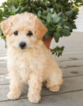 Poodle (Miniature) Puppy For Sale in JERSEY CITY, NJ, USA