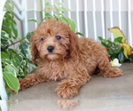 Small #3 Cavalier King Charles Spaniel-Poodle (Toy) Mix