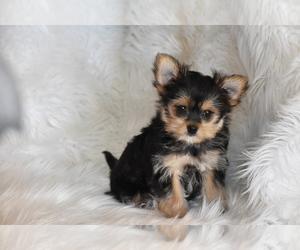 Morkie Puppy for sale in ELDORADO, OH, USA