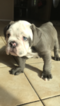Bulldog Puppy For Sale in WHITTIER, CA, USA