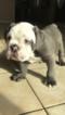 Bulldog Puppy For Sale in WHITTIER, CA,