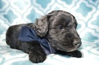 Aussie-Poo Puppy For Sale in HONEY BROOK, Pennsylvania,