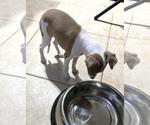 Small #9 Italian Greyhound