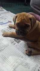 Mastiff Puppy For Sale in WESTMINSTER, MD