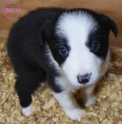 Border Collie Puppy for Sale in WHITE SALMON, Washington USA