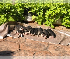 Alaskan Malamute Puppy for sale in HENNESSEY, OK, USA