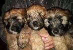 Soft Coated Wheaten Terrier Puppy For Sale in THOMASVILLE, NC