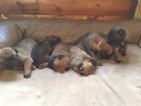 Belgian Malinois Puppy For Sale in EAGLE RIVER, AK, USA