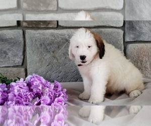 Poodle (Miniature)-Saint Bernard Mix Puppy for Sale in SUGARCREEK, Ohio USA