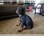 Small #25 Doberman Pinscher