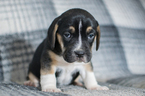 Beabull Puppy For Sale in KENT, OH, USA