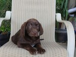 Labrador Retriever Puppy For Sale in FRESNO, California,