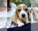 AKC Lil Lemon and Tri Color Beagle Puppies