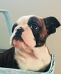 English Bulldog Puppy For Sale in FORT MORGAN, CO, USA