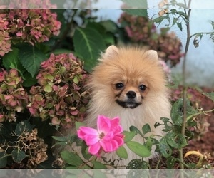 Pomeranian Puppy for Sale in BRICK, New Jersey USA