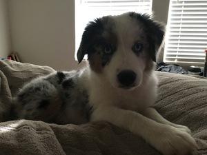 Australian Shepherd Puppy for sale in ROCKWALL, TX, USA
