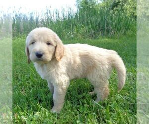 Goldendoodle-Poodle (Standard) Mix Puppy for sale in THORP, WI, USA
