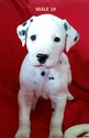 Dalmatian Puppy For Sale in ELKMONT, AL