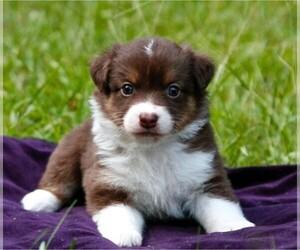 Miniature Australian Shepherd Puppy for Sale in MAGNOLIA, Texas USA