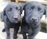 Labrador Retriever Puppy For Sale in AMBOY, WA, USA