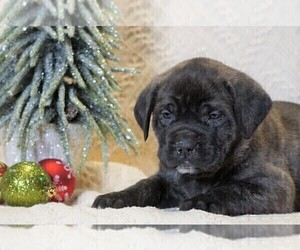 Mastiff Puppy for sale in FREDERICKSBG, OH, USA