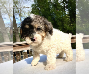 Sheepadoodle Puppy for sale in CHATHAM, PA, USA