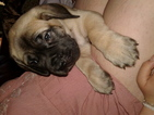 Mastiff Puppy For Sale in LAS VEGAS, NV,