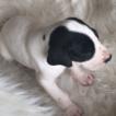 Great Dane Puppy For Sale in HUNTSVILLE, TX,