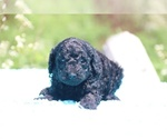 Small #11 Poodle (Standard)