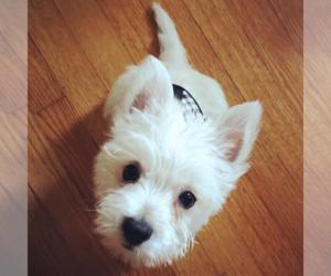 Puppyfinder com: West Highland White Terrier puppies puppies
