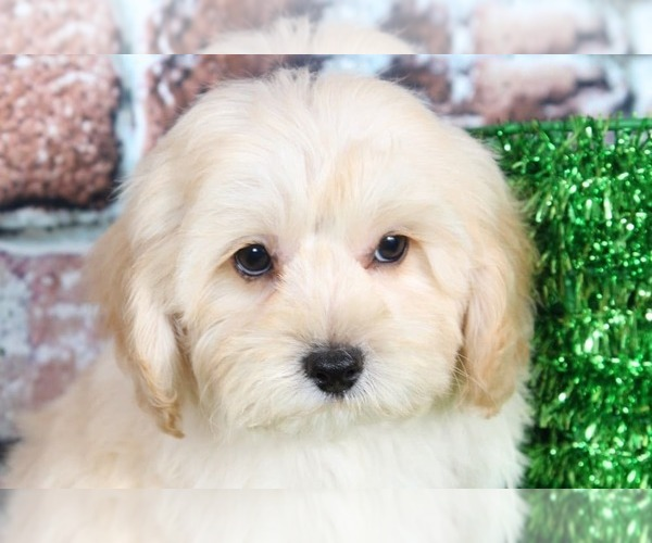Medium Photo #2 Cock-A-Poo Puppy For Sale in BEL AIR, MD, USA